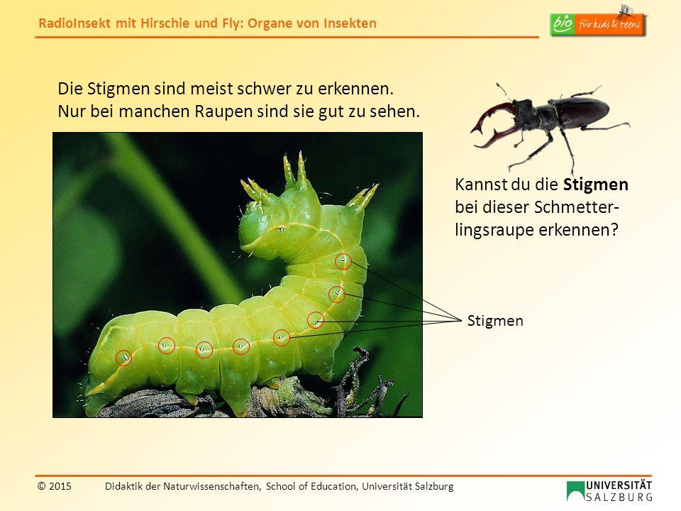 RadioInsekt mit Hirschie und Fly: Organe von Insekten © 2015Didaktik der Naturwissenschaften, School of Education, Universität Salzburg Die Stigmen si