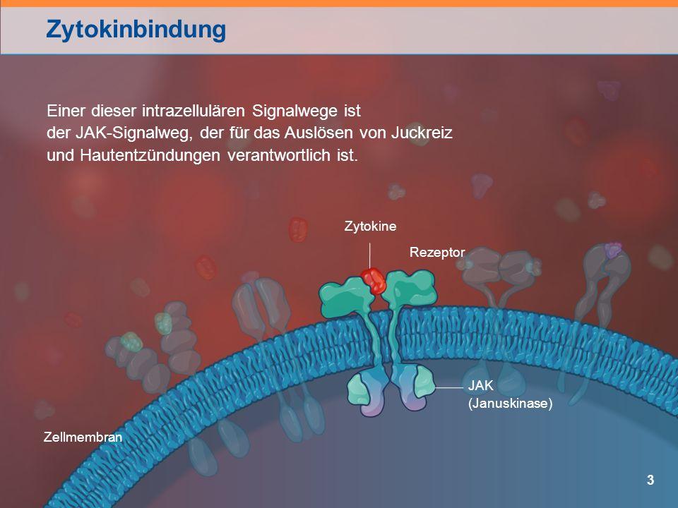 Zytokinbindung 3 Rezeptor JAK (Januskinase) Zytokine Einer dieser intrazellulären Signalwege ist der JAK-Signalweg, der für das Auslösen von Juckreiz und Hautentzündungen verantwortlich ist.
