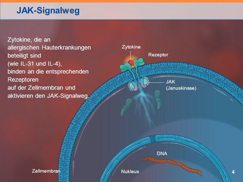 JAK-Signalweg 4 Zellmembran Rezeptor JAK (Januskinase) Zytokine Nukleus DNA Zytokine, die an allergischen Hauterkrankungen beteiligt sind (wie IL-31 und IL-4), binden an die entsprechenden Rezeptoren auf der Zellmembran und aktivieren den JAK-Signalweg.