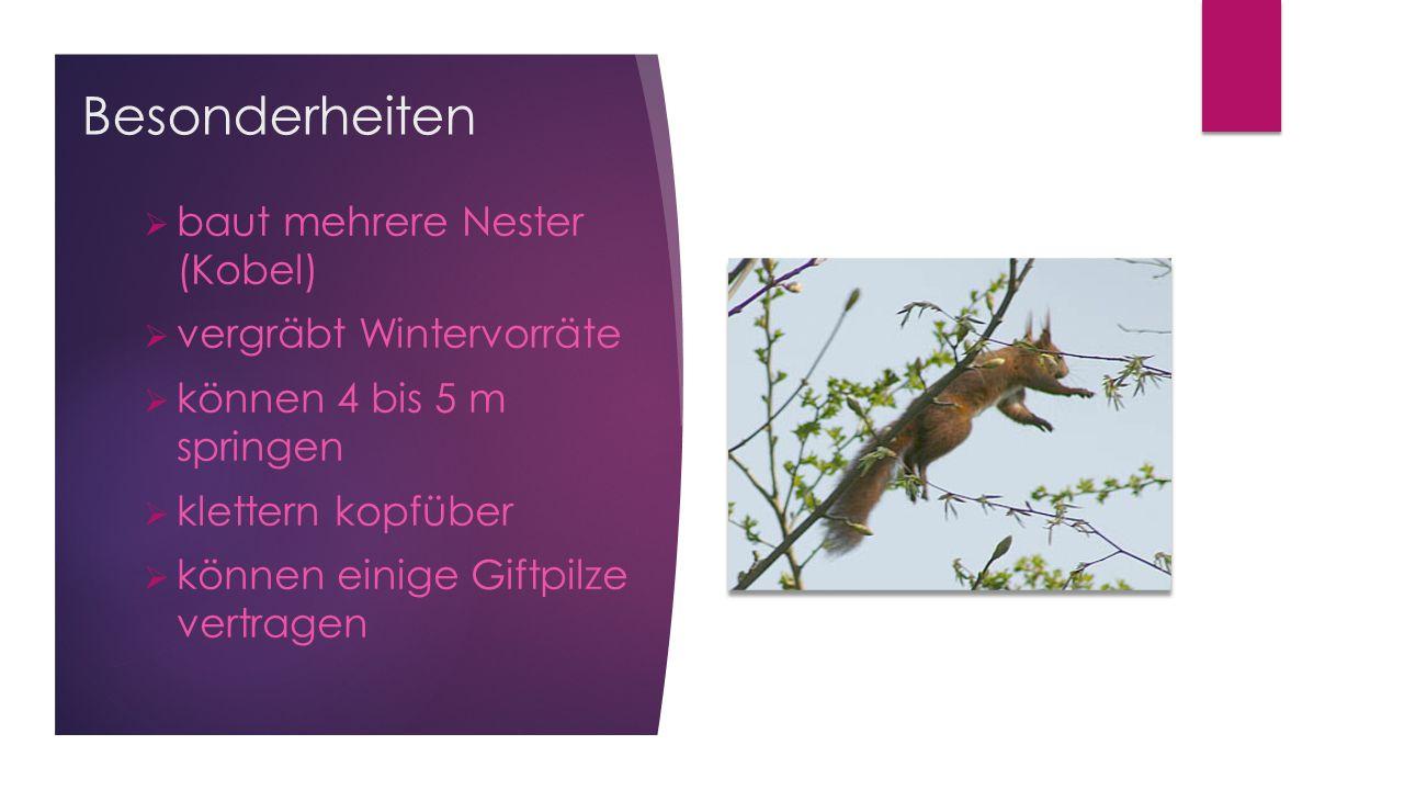  baut mehrere Nester (Kobel)  vergräbt Wintervorräte  können 4 bis 5 m springen  klettern kopfüber  können einige Giftpilze vertragen Besonderhei