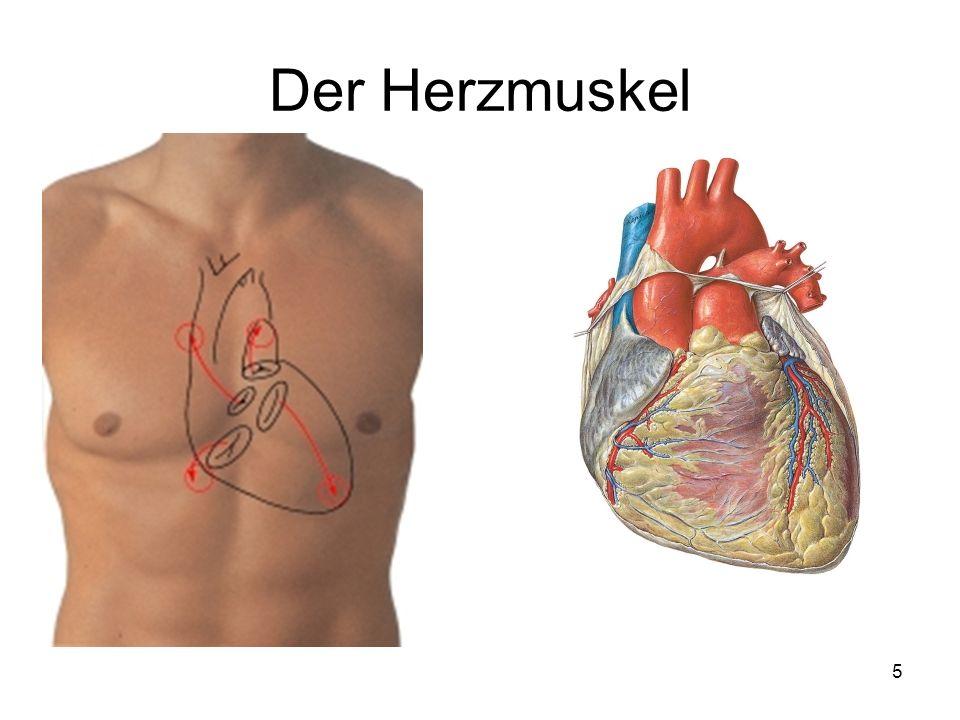 5 Der Herzmuskel