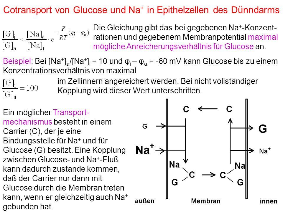 Cotransport von Glucose und Na + in Epithelzellen des Dünndarms Die Gleichung gibt das bei gegebenen Na + -Konzent- rationen und gegebenem Membranpotential maximal mögliche Anreicherungsverhältnis für Glucose an.