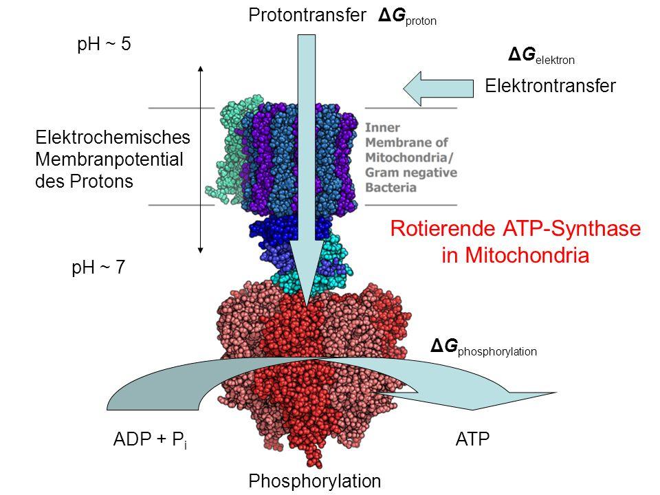 Elektrontransfer Protontransfer Phosphorylation ADP + P i ATP Rotierende ATP-Synthase in Mitochondria Elektrochemisches Membranpotential des Protons ΔG phosphorylation ΔG proton ΔG elektron pH ~ 5 pH ~ 7