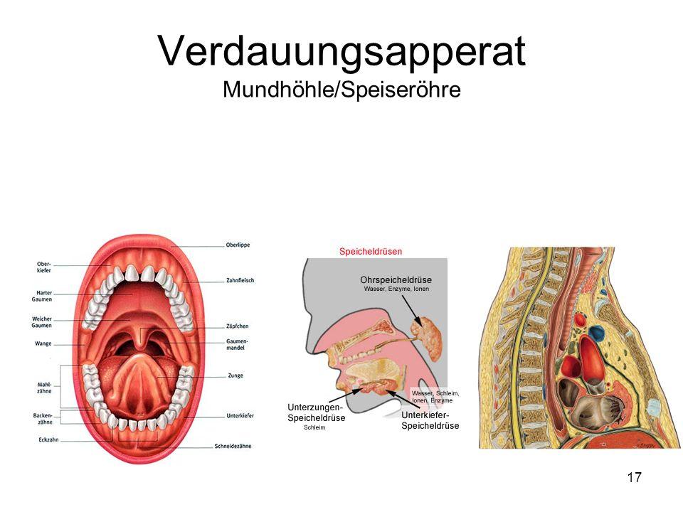 17 Verdauungsapperat Mundhöhle/Speiseröhre