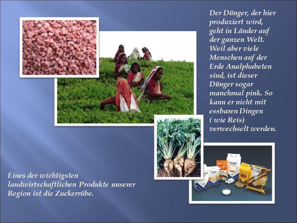 Eines der wichtigsten landwirtschaftlichen Produkte unserer Region ist die Zuckerrübe.