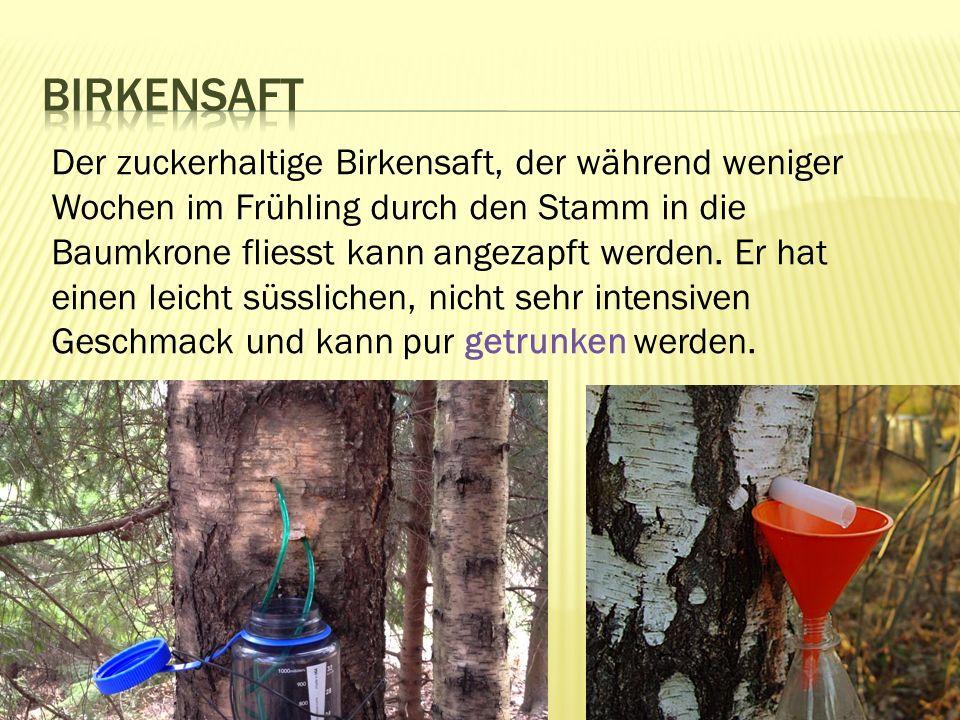 Der zuckerhaltige Birkensaft, der während weniger Wochen im Frühling durch den Stamm in die Baumkrone fliesst kann angezapft werden.