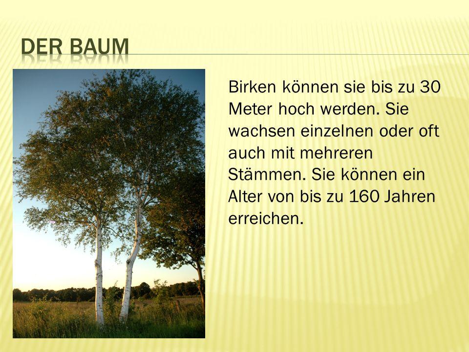 Birken können sie bis zu 30 Meter hoch werden.