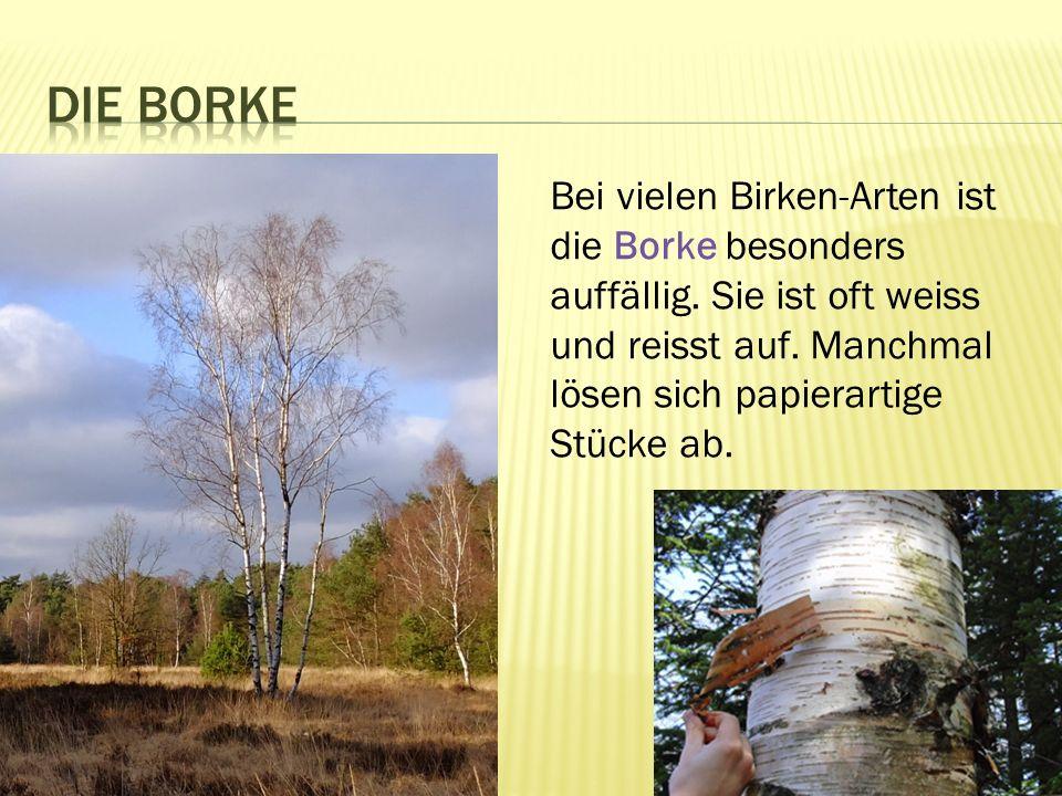Bei vielen Birken-Arten ist die Borke besonders auffällig.