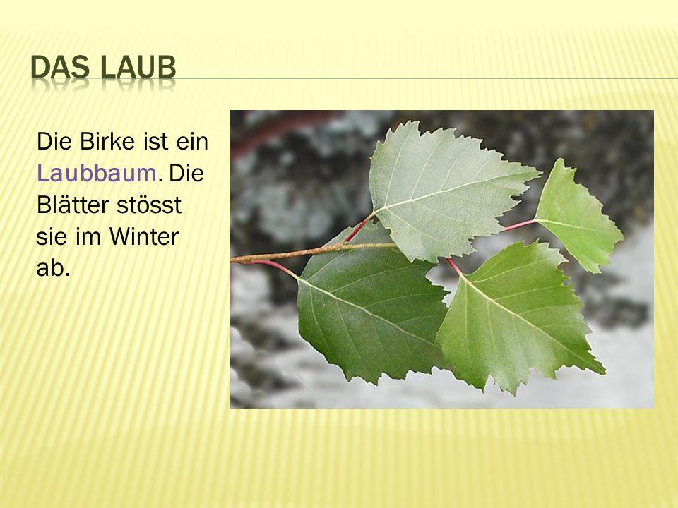 Die Birke ist ein Laubbaum. Die Blätter stösst sie im Winter ab.