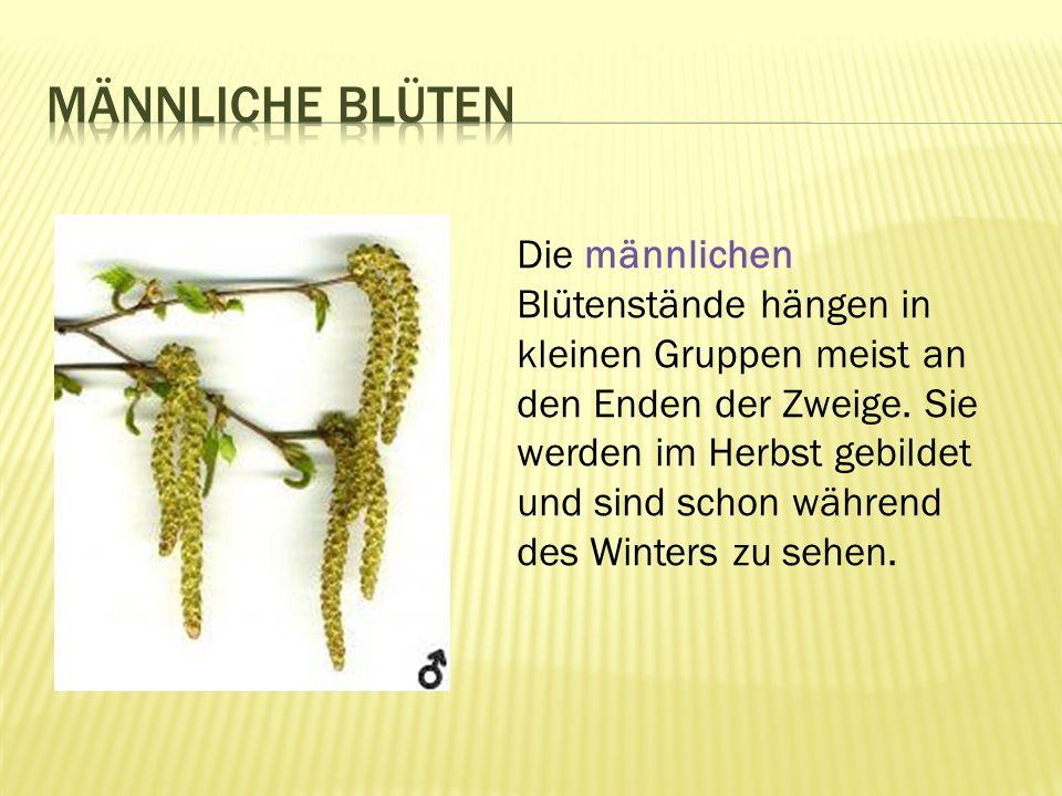 Die männlichen Blütenstände hängen in kleinen Gruppen meist an den Enden der Zweige.