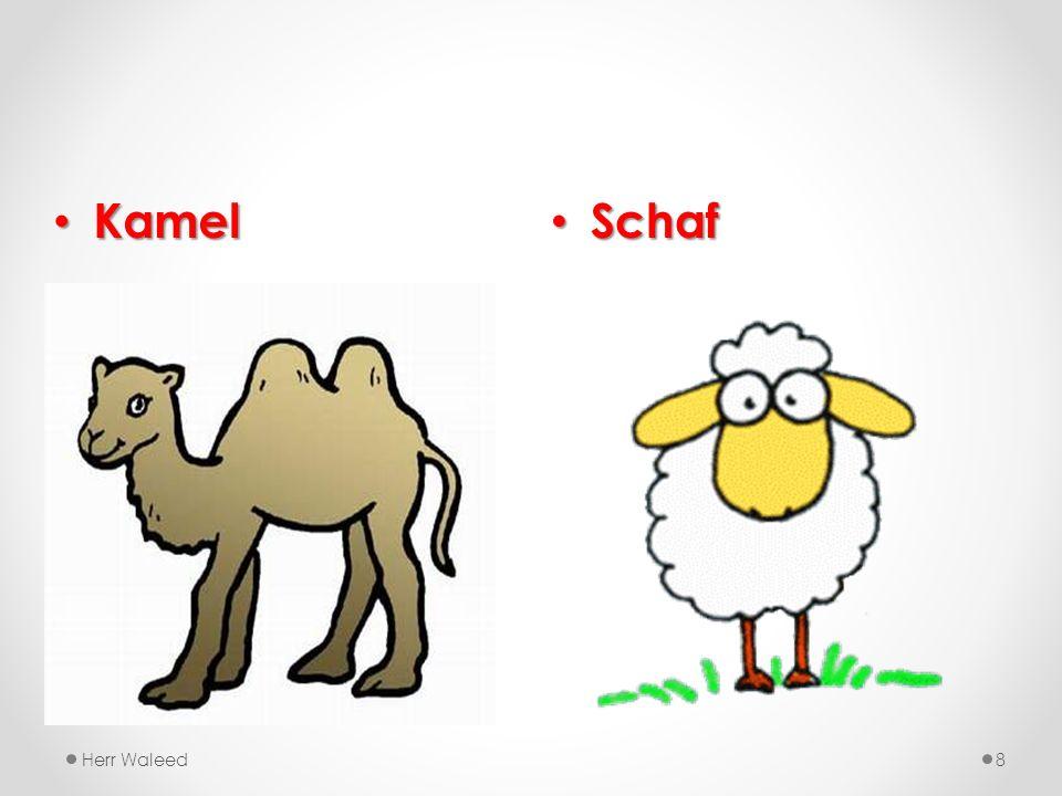 Schaf Schaf Herr Waleed8 Kamel Kamel