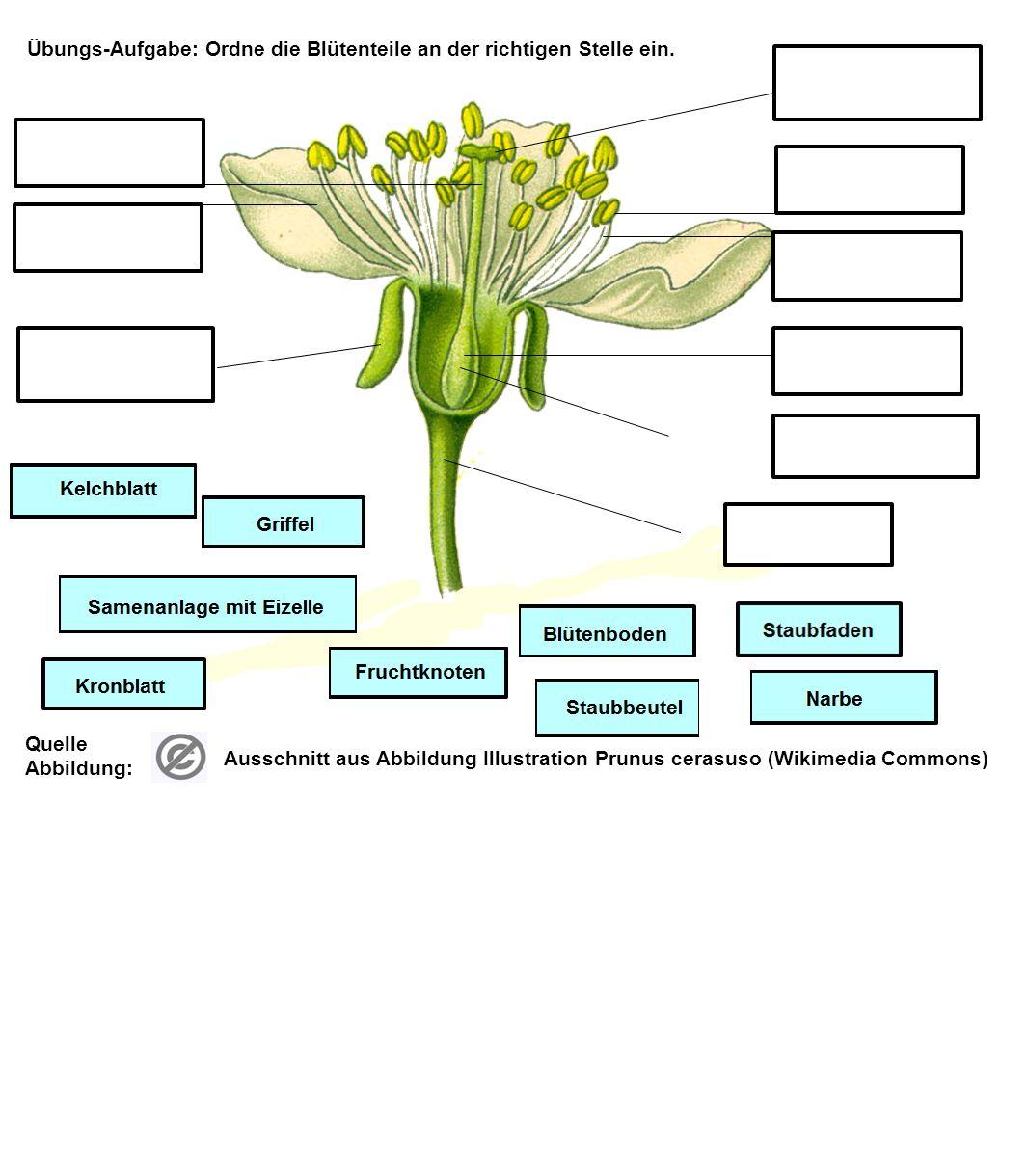 Übungs-Aufgabe: Schreibe die Blütenteile per Hand oder Tastatur unten auf die Folie und ziehe die Bezeichnunen in die r ichtigen Beschriftungsfelder.