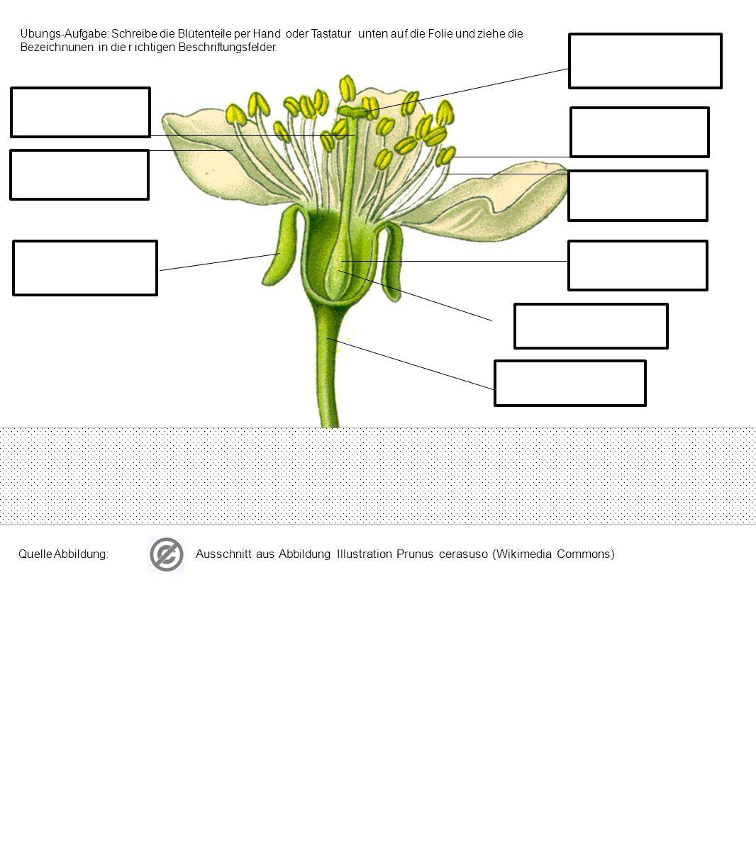 Übungs-Aufgabe : Beschrifte die Blütenteile ohne Hilfe Ausschnitt aus Abbildung Illustration Prunus cerasuso (Wikimedia Commons)
