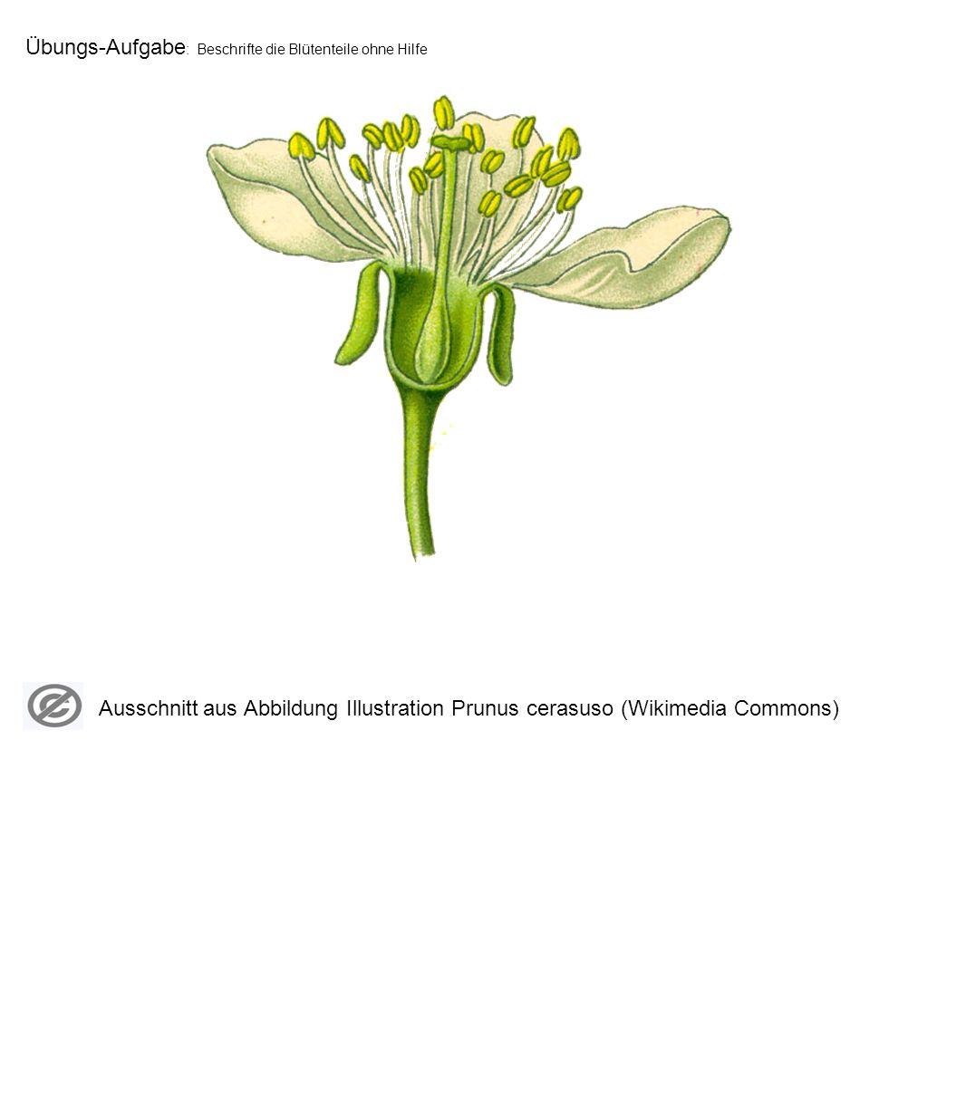Übungs-Aufgabe: Zeichne eine Blüte mit ihren typischen Bestandteilen und beschrifte sie.