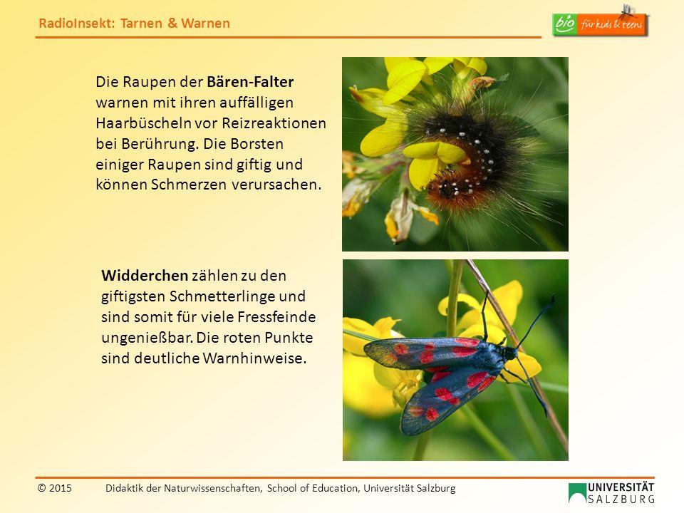 RadioInsekt: Tarnen & Warnen © 2015Didaktik der Naturwissenschaften, School of Education, Universität Salzburg Die Raupen der Bären-Falter warnen mit