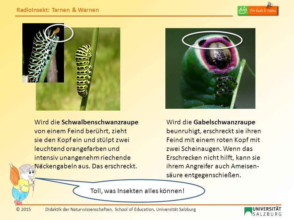 RadioInsekt: Tarnen & Warnen © 2015Didaktik der Naturwissenschaften, School of Education, Universität Salzburg Wird die Schwalbenschwanzraupe von eine