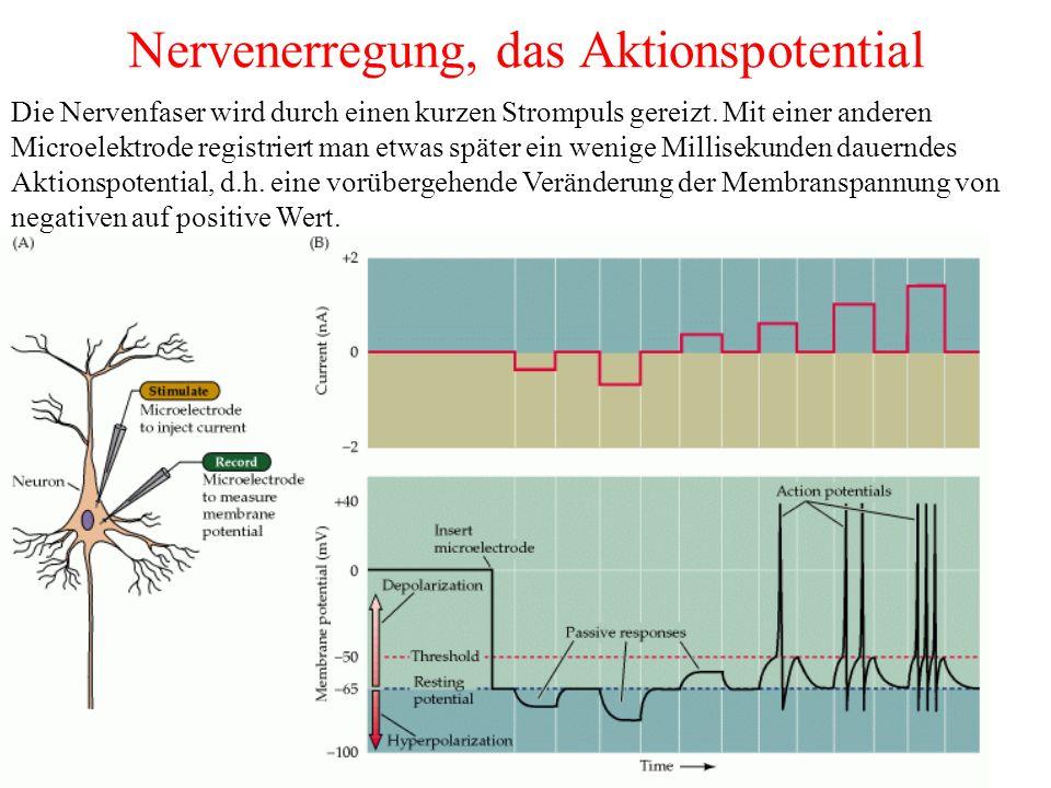 Nervenerregung, das Aktionspotential Die Nervenfaser wird durch einen kurzen Strompuls gereizt.