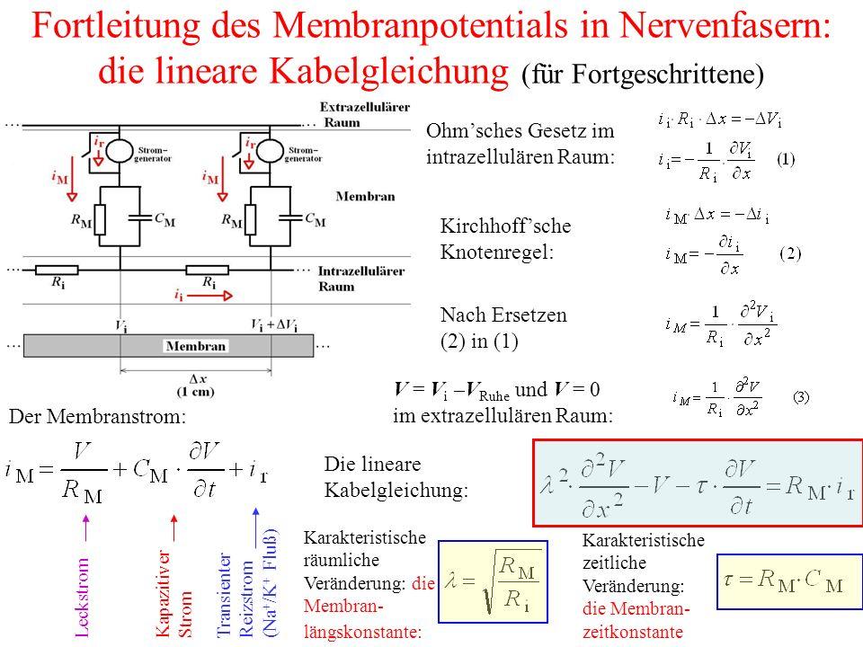 Fortleitung des Membranpotentials in Nervenfasern: die lineare Kabelgleichung (für Fortgeschrittene) Ohm'sches Gesetz im intrazellulären Raum: Kirchhoff'sche Knotenregel: Nach Ersetzen (2) in (1) Der Membranstrom: Die lineare Kabelgleichung: Karakteristische räumliche Veränderung: die Membran- längskonstante: Karakteristische zeitliche Veränderung: die Membran- zeitkonstante Kapazitiver Strom LeckstromTransienter Reizstrom (Na + /K + Fluß) V = V i –V Ruhe und V = 0 im extrazellulären Raum: