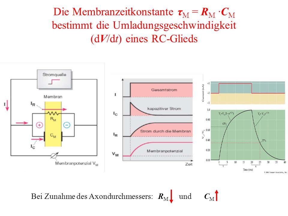Die Membranzeitkonstante τ M = R M ·C M bestimmt die Umladungsgeschwindigkeit (dV/dt) eines RC-Glieds Bei Zunahme des Axondurchmessers: R M undC M