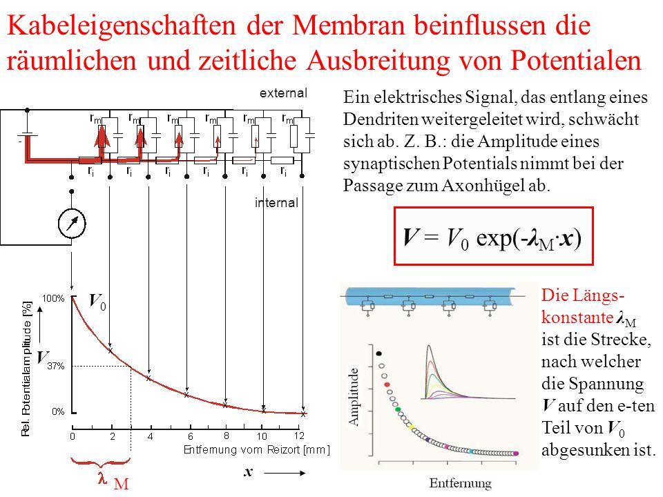 Kabeleigenschaften der Membran beinflussen die räumlichen und zeitliche Ausbreitung von Potentialen Ein elektrisches Signal, das entlang eines Dendriten weitergeleitet wird, schwächt sich ab.