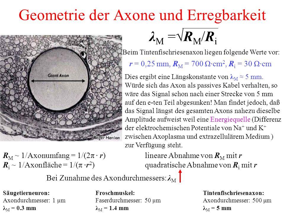 Geometrie der Axone und Erregbarkeit R M ~ 1/Axonumfang = 1/(2π · r) lineare Abnahme von R M mit r R i ~ 1/Axonfläche = 1/(π ·r 2 ) quadratische Abnahme von R i mit r λ M =√R M /R i Bei Zunahme des Axondurchmessers: λ M Beim Tintenfischriesenaxon liegen folgende Werte vor: r = 0,25 mm, R M = 700 Ω·cm 2, R i = 30 Ω·cm Dies ergibt eine Längskonstante von λ M ≈ 5 mm.