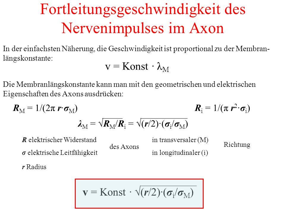 Fortleitungsgeschwindigkeit des Nervenimpulses im Axon In der einfachsten Näherung, die Geschwindigkeit ist proportional zu der Membran- längskonstante: v = Konst · λ M Die Membranlängskonstante kann man mit den geometrischen und elektrischen Eigenschaften des Axons ausdrücken: R M = 1/(2π r·σ M )R i = 1/(π r 2 ·σ i ) λ M = √R M /R i = √(r/2)·(σ i /σ M ) v = Konst · √(r/2)·(σ i /σ M ) R elektrischer Widerstand σ elektrische Leitfähigkeit des Axons in transversaler (M) in longitudinaler (i) Richtung r Radius