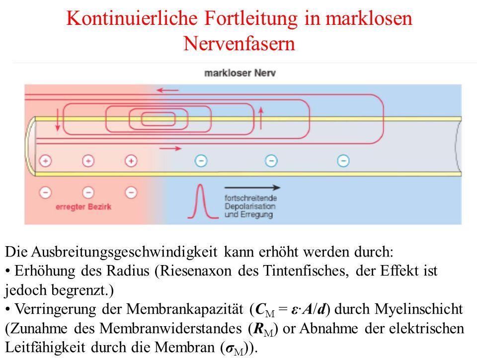 Kontinuierliche Fortleitung in marklosen Nervenfasern Die Ausbreitungsgeschwindigkeit kann erhöht werden durch: Erhöhung des Radius (Riesenaxon des Tintenfisches, der Effekt ist jedoch begrenzt.) Verringerung der Membrankapazität (C M = ε·A/d) durch Myelinschicht (Zunahme des Membranwiderstandes (R M ) or Abnahme der elektrischen Leitfähigkeit durch die Membran (σ M )).