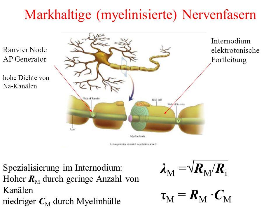 Markhaltige (myelinisierte) Nervenfasern Ranvier Node AP Generator Internodium elektrotonische Fortleitung hohe Dichte von Na-Kanälen Spezialisierung im Internodium: Hoher R M durch geringe Anzahl von Kanälen niedriger C M durch Myelinhülle λ M =√R M /R i τ M = R M ·C M
