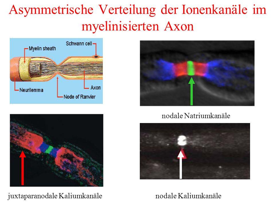 Asymmetrische Verteilung der Ionenkanäle im myelinisierten Axon nodale Natriumkanäle juxtaparanodale Kaliumkanälenodale Kaliumkanäle