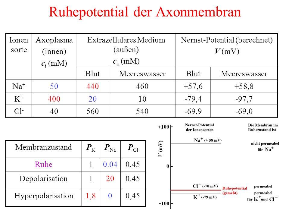 Ruhepotential der Axonmembran Ionen sorte Axoplasma (innen) c i (mM) Extrazelluläres Medium (außen) c a (mM) Nernst-Potential (berechnet) V (mV) BlutMeereswasserBlutMeereswasser Na + 50440460+57,6+58,8 K+K+ 4002010-79,4-97,7 Cl - 40560540-69,9-69,0 MembranzustandPKPK P Na P Cl Ruhe10.040,45 Depolarisation1200,45 Hyperpolarisation1,800,45