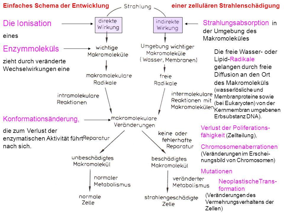 Einfaches Schema der Entwicklungeiner zellulären Strahlenschädigung Die Ionisation eines Enzymmoleküls zieht durch veränderte Wechselwirkungen eine Ko