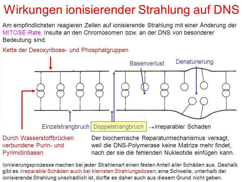 Wirkungen ionisierender Strahlung auf DNS EinzelstrangbruchDoppelstrangbruch Basenverlust Denaturierung Kette der Desoxyribose- und Phosphatgruppen Du