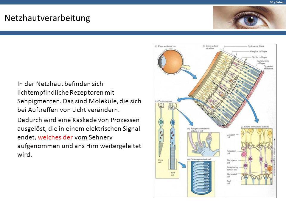 05 / Sehen Netzhautverarbeitung In der Netzhaut befinden sich lichtempfindliche Rezeptoren mit Sehpigmenten. Das sind Moleküle, die sich bei Auftreffe