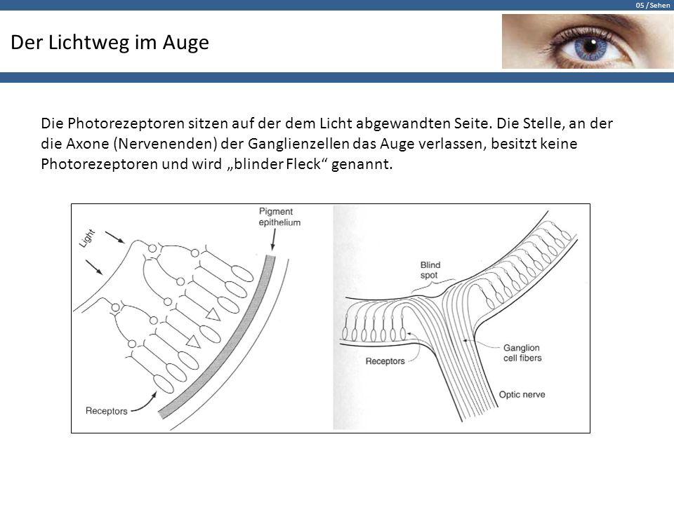 05 / Sehen Der Lichtweg im Auge Die Photorezeptoren sitzen auf der dem Licht abgewandten Seite. Die Stelle, an der die Axone (Nervenenden) der Ganglie