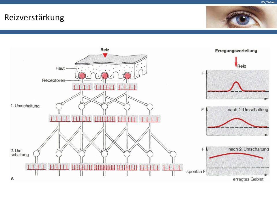 05 / Sehen Kontrastverstärkung Die Photorezeptoren sitzen auf der dem Licht abgewandten Seite.