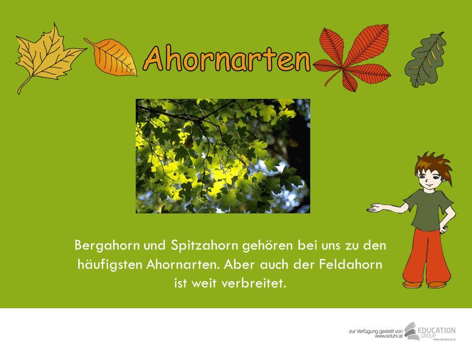 Bergahorn und Spitzahorn gehören bei uns zu den häufigsten Ahornarten. Aber auch der Feldahorn ist weit verbreitet.