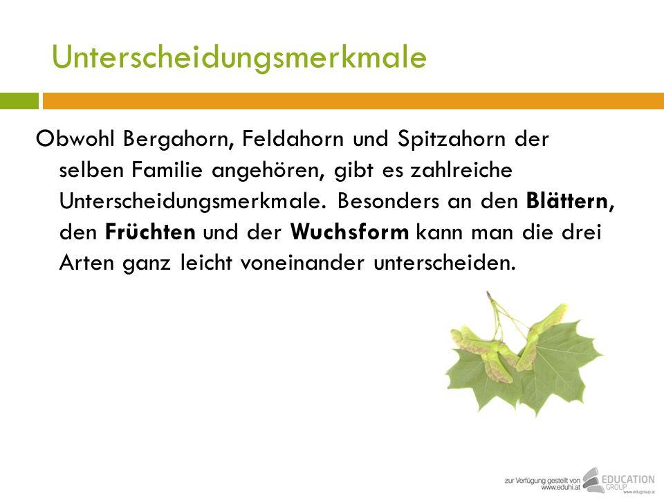 Unterscheidungsmerkmale Obwohl Bergahorn, Feldahorn und Spitzahorn der selben Familie angehören, gibt es zahlreiche Unterscheidungsmerkmale. Besonders
