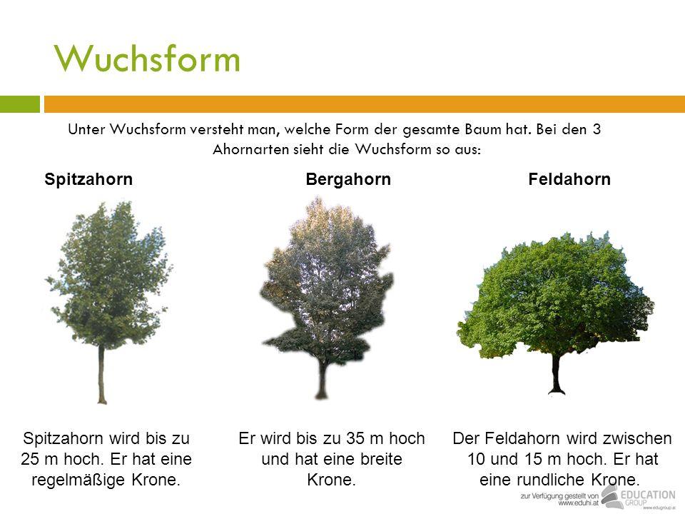 Wuchsform Unter Wuchsform versteht man, welche Form der gesamte Baum hat. Bei den 3 Ahornarten sieht die Wuchsform so aus: BergahornFeldahornSpitzahor