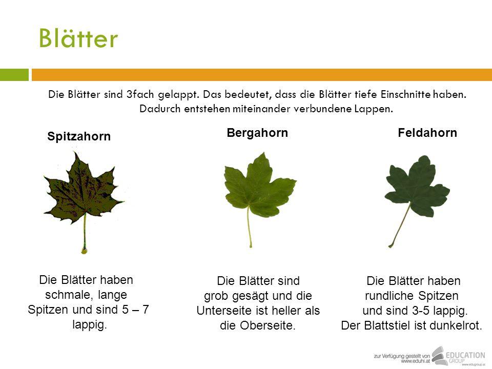 Blätter Die Blätter sind 3fach gelappt. Das bedeutet, dass die Blätter tiefe Einschnitte haben. Dadurch entstehen miteinander verbundene Lappen. Berga