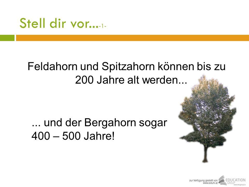 Stell dir vor... -1- Feldahorn und Spitzahorn können bis zu 200 Jahre alt werden...... und der Bergahorn sogar 400 – 500 Jahre!