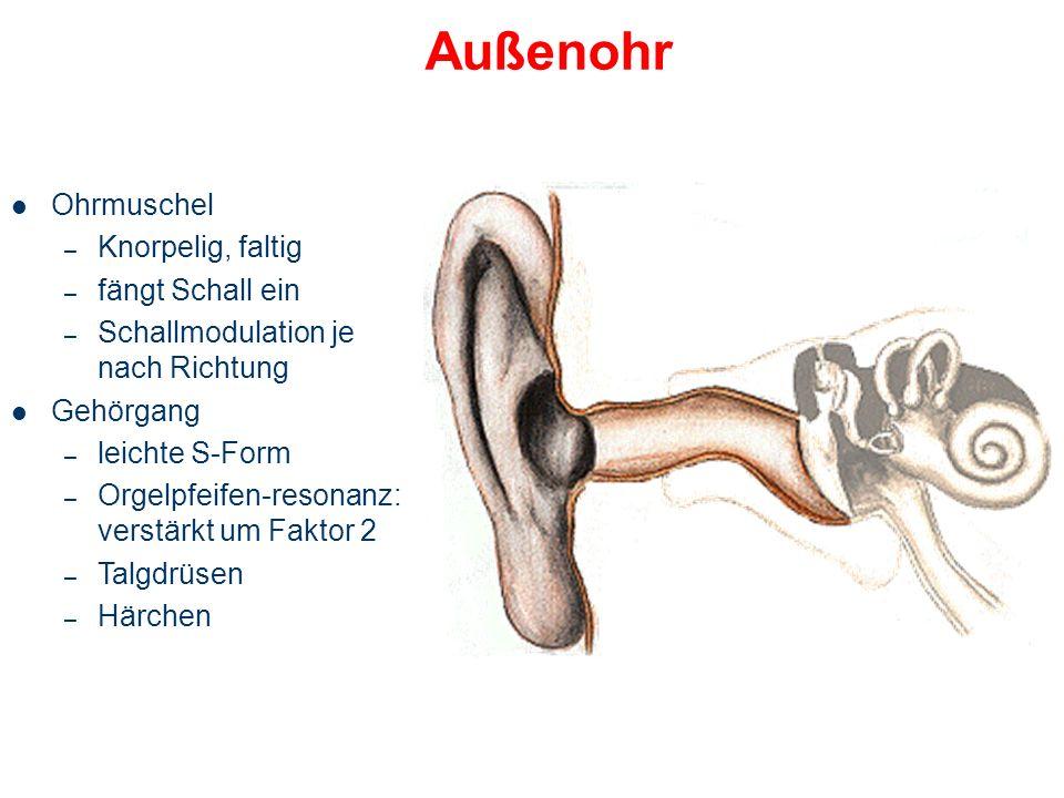 Das Ohr im Überblick Ohrmuschel mit Gehörgang Mittelohr Innenohr Hörnerv Auditorischer Pfad Cortex Außenohr Mittelohr Innenohr