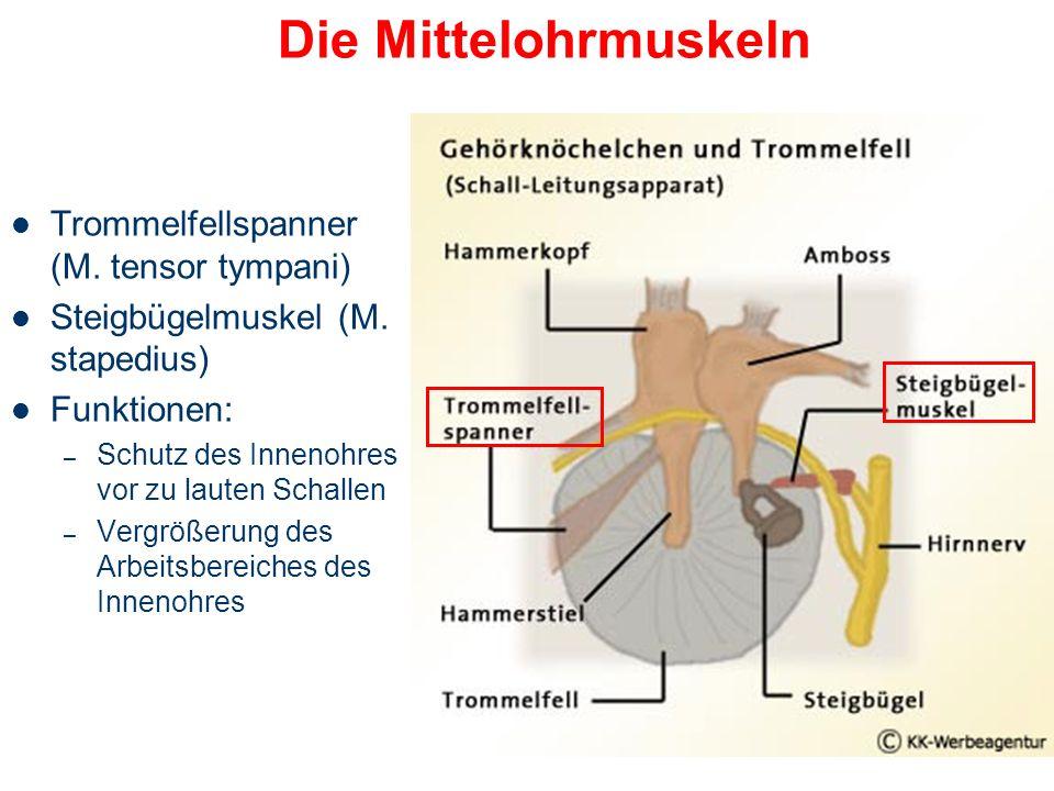 Mittelohr Einfangen der Schallwellen am Trommelfell, Schwingungsübertragung vom Außen- zum Innenohr Wirkungsvolle Übertragung auf die Flüssigkeiten im