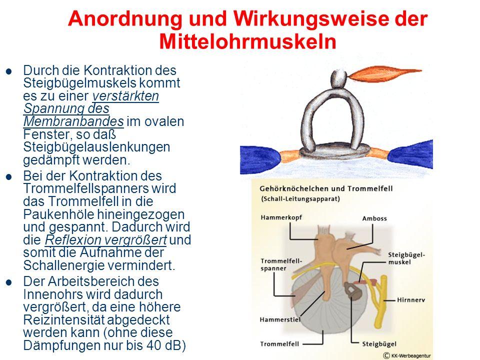 Die Mittelohrmuskeln Trommelfellspanner (M. tensor tympani) Steigbügelmuskel (M. stapedius) Funktionen: – Schutz des Innenohres vor zu lauten Schallen