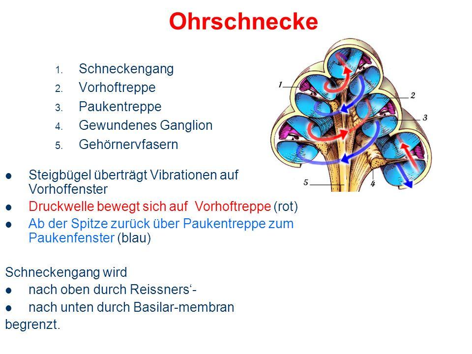Aufbau der Schnecke Auf der Basilarmembran befindet sich das Transformationsorgan (Cortisches Organ). Hier findet der eigentliche Hörprozeß, die Umwan