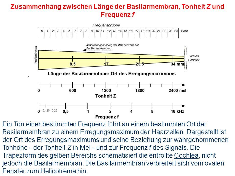 Basilarmembran Durch Steigbügel übertragene Vibrationen erzeugen Druckwelle bis hin zum Paukenfenster (Schallgeschwindigkeit des Wassers) Durch Ausgle