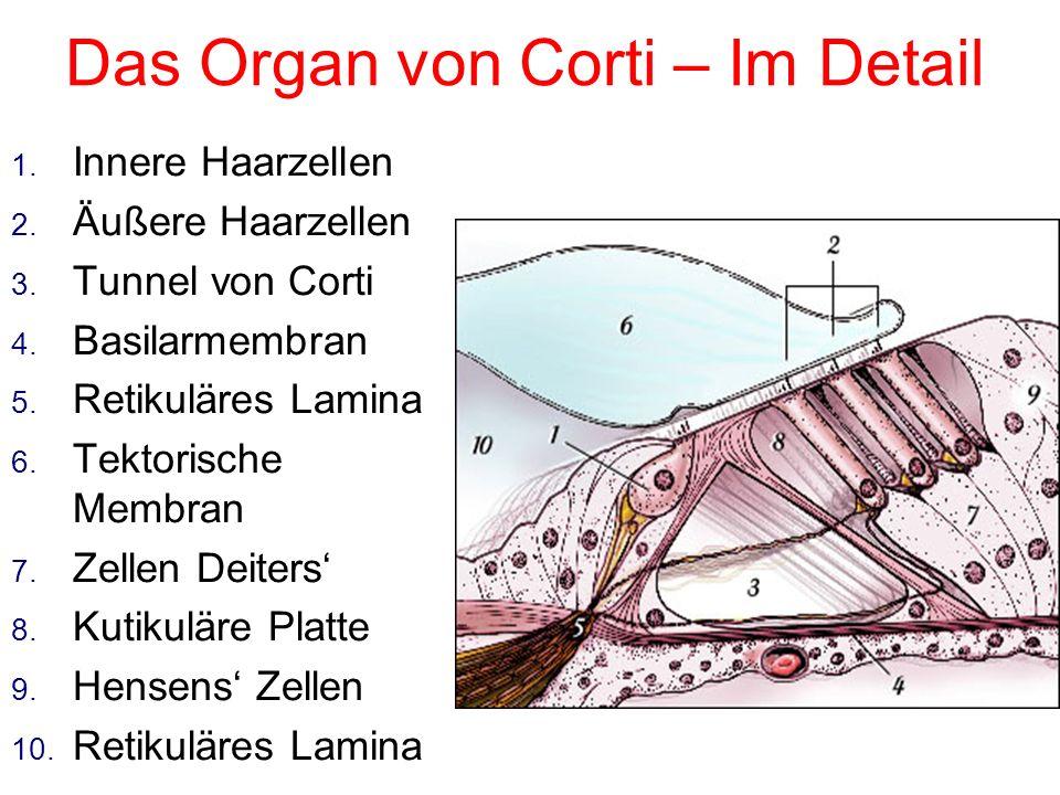 Das Organ von Corti 1. Schneckengang 2. Vorhoftreppe 3. Paukentreppe 4. Reissners' Membran 5. Basilarmembran 6. Tektorische Membran 7. Stria Vasculari