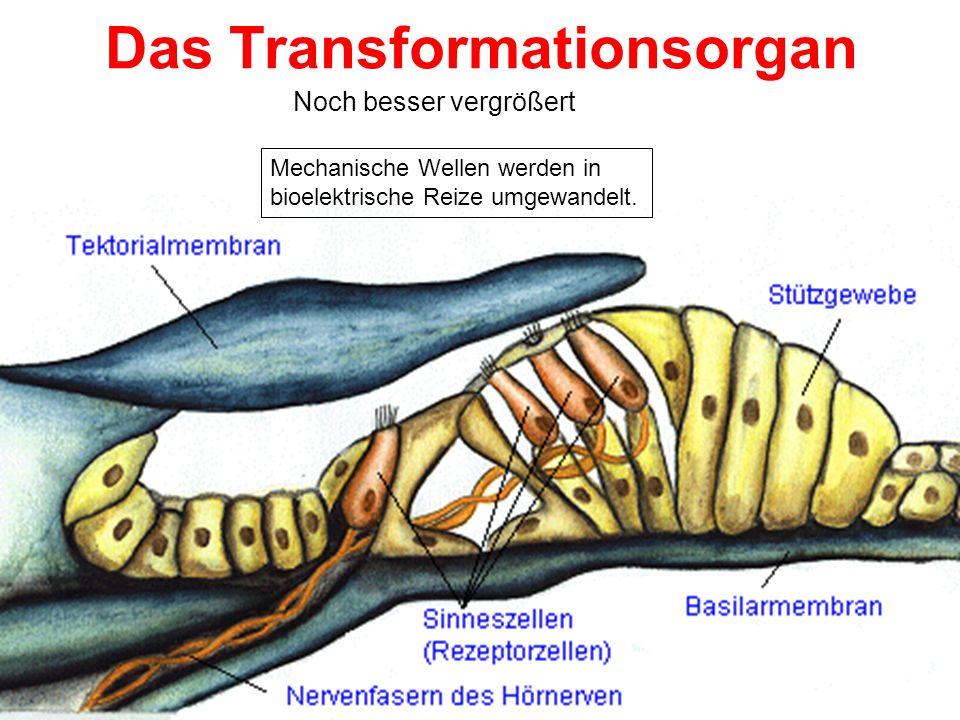 Das Organ von Corti – Im Detail 1. Innere Haarzellen 2. Äußere Haarzellen 3. Tunnel von Corti 4. Basilarmembran 5. Retikuläres Lamina 6. Tektorische M