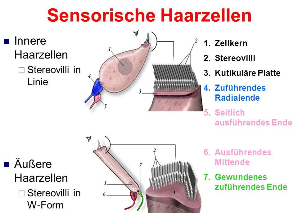 Sensorische Haarzellen Mechanorezeptoren Besitzen fingerartige Ausstülpungen (Stereovilli) Bei Bewegung: Änderung des Potentials an der Membran Weiter