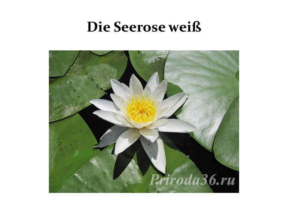 Die Seerose weiß