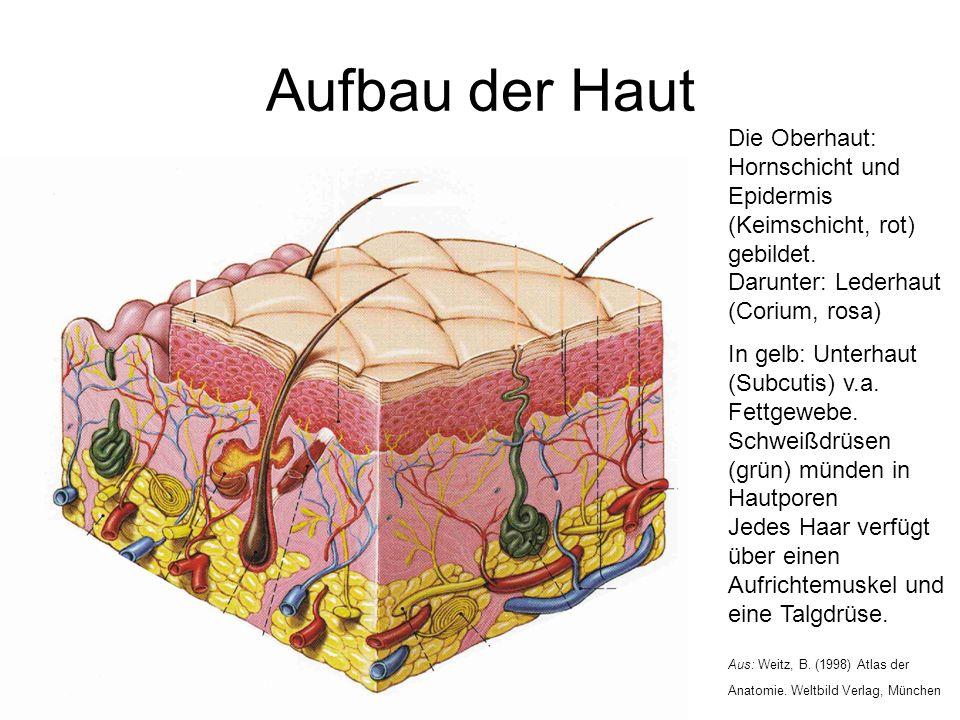 Aufbau der Haut Die Oberhaut: Hornschicht und Epidermis (Keimschicht, rot) gebildet. Darunter: Lederhaut (Corium, rosa) In gelb: Unterhaut (Subcutis)